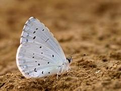 Celastrina argiolus (diegocon1964) Tags: lepidoptera lycaenidae papilionoidea celastrina argiolus lycaeninae celastrinaargiolus specanimal polyommatini
