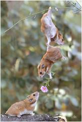 Jealous lovers (Daniel Semper) Tags: hamsters