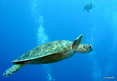 Green turtle, Okinawa Japan