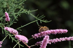 Tamarisk Rider (LongInt57) Tags: pink flowers trees orange black flower macro tree green yellow bug insect blossom bees blossoms insects bugs bee bloom blooms tamarisk tamarix