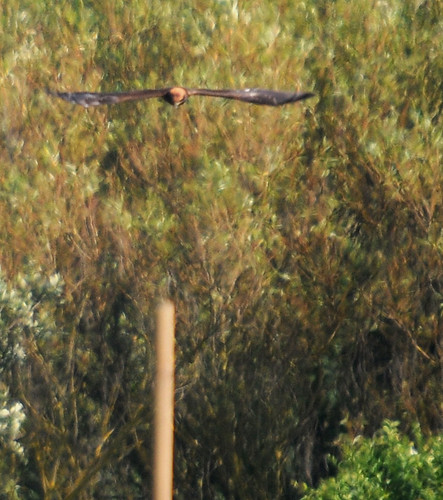 marsh harrier2
