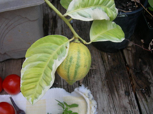 Beautiful and functional, this great-tasting lemon has a pink interior when sliced.