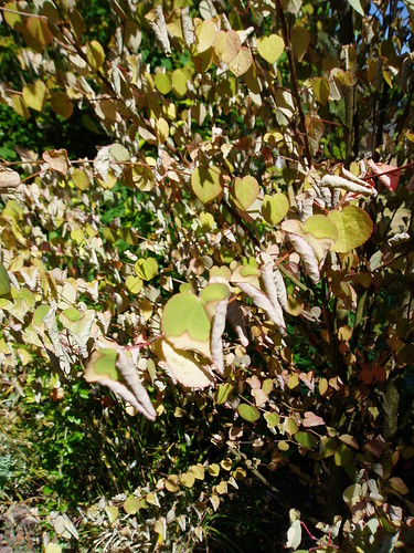 Fried Cercidiphyllum japonicum