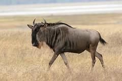 White Beard (eric20d) Tags: africa wild tanzania safari antelope afrika gnu wildebeest connochaetestaurinus whitebearded