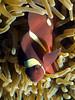 Maroon anemonefish (Paul Flandinette) Tags: ocean fish macro photography underwater clownfish borneo kotakinabalu sabah anemonefish underwaterphotography nemofish spinecheekanemonefish beautifulfish tunkuabdulrahmanmarinereserve premnasbiculeatus maroonanemonefish paulflandinette