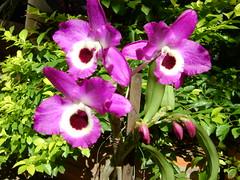 Orquídea 22