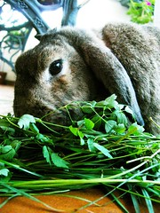 ... green fresh herbs (unaerica) Tags: italy hairy pet pets cute rabbit bunny green bunnies nature beauty animals closeup fur outdoors nikon friend funny italia friendship princess herbs sweet adorable fluffy happiness ears fresh plush moustache occhi curious animali lapin tenderness mypet coniglio cuccioli kanin coniglietto lopears orecchie unaerica pipola coniglietta coniglietti