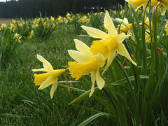 Gelbe Narzissen (Narcissus pseudonarcissus), Holzwarchetal bei Mrringen, Ostbelgien (Frank.Vassen) Tags: daffodil narcisse narcissus narzisse osterglocke narcissuspseudonarcissus gelbenarzisse narcyz natura2000 ostbelgien wilddaffodil narcissejaune natagora mrringen narzissenwiese narcissetrompette holzwarche narcyztrbkowy holzwarchetal be33047c0