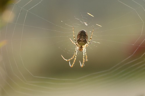 Metellina segmentata | Herfstspin - Autumn spider
