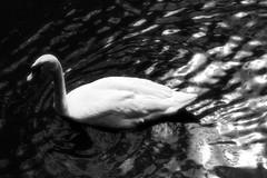 swan lake (RuanNiemann) Tags: delete9 delete5 delete2 delete6 delete7 delete8 delete3 delete delete4 delete11 eastlondonsouthafrica delete10addedforalefin