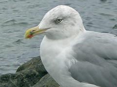 Timmendorfer Strand - Möwe (abudulla.saheem) Tags: ocean sea birds animals germany nikon meer seagull balticsea möwe timmendorf ostsee schleswigholstein timmendorferstrand coolpixl12 flickrphotoaward abudullasaheem