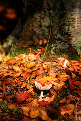 Enchanted Forest (CatMacBride) Tags: autumn red orange brown sunlight fall mushroom forest gold october dof fungus toadstool mystical magical 2009 enchanted sigma105mmmacro donotusewithoutpermission dabbled catmacbride copyrightcatherinemacbride