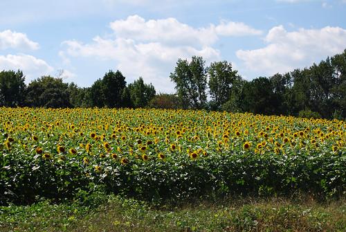 SS40_Sunflowers[2009]