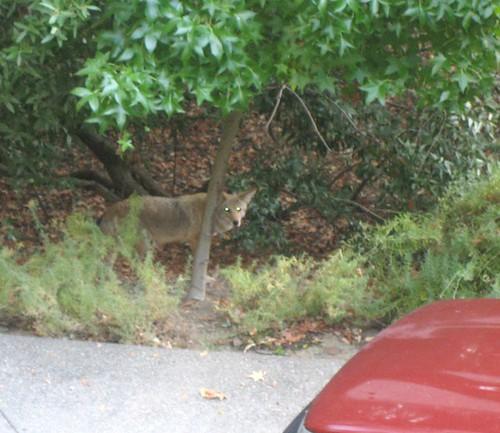 rick fiset coyote2