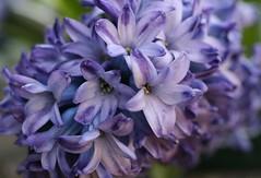 IMG_9034 (Franie Frou Frou) Tags: flowers purple mygarden hyacinth
