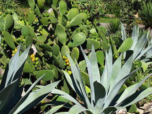 Opuntia, Agave americana