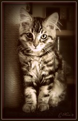 "New Baby ""Monster""  Portrait (FurBabyLuv *Finally back Online) Tags: portrait baby brown monster sepia mix kitten edited tabby adorable mainecoon picnik kittysuperstar bestofcats pet100 explore91909"