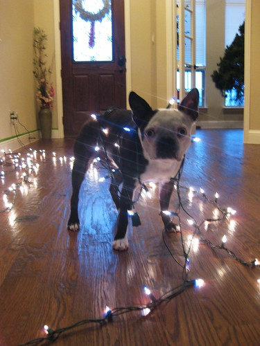 Boston Terrier Christmas Lights