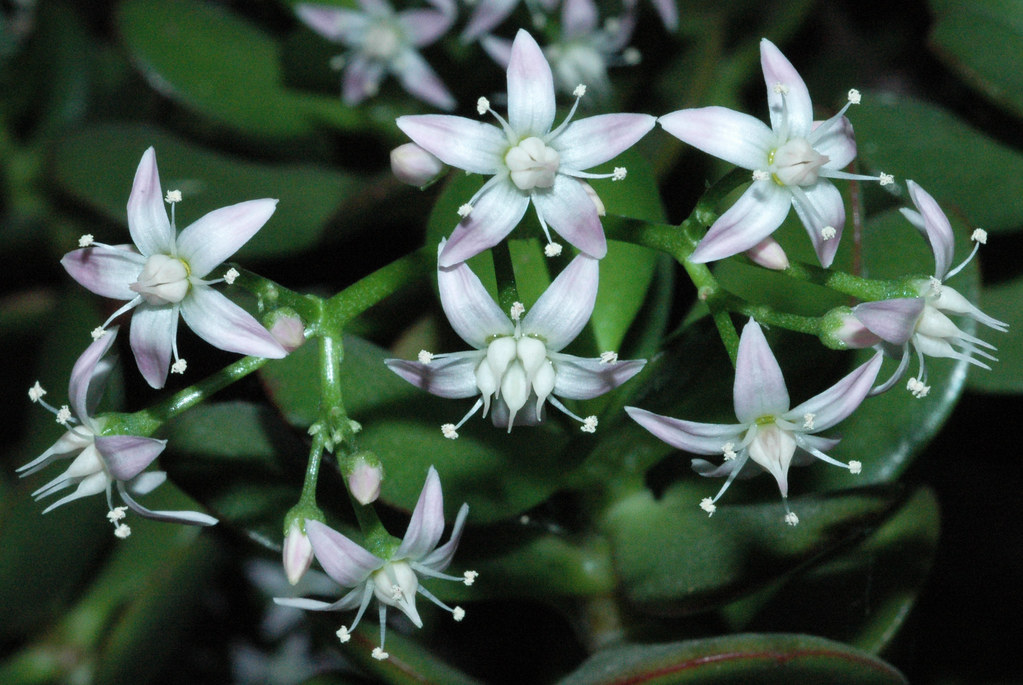 The World's most recently posted photos of blüte and geldbaum Flickr Hive Mind ~ 07150616_Sukkulenten Blüte Abschneiden