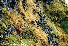 Askance (sntssche) Tags: bird island iceland vik puffin volgel papageientaucher earthasia worldtrekker