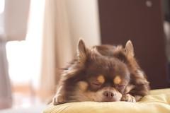 [フリー画像] [動物写真] [哺乳類] [イヌ科] [犬/イヌ] [チワワ] [寝顔/寝相/寝姿]     [フリー素材]