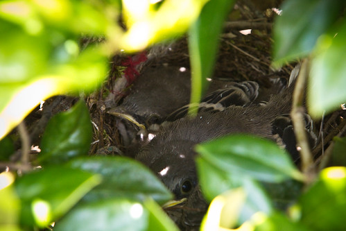 110429 Baby Birds