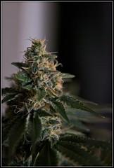 yumyumyumyum (The Prof.) Tags: plant home weed indoor 420 bud marijuana bomb homegrown grown chronic dank chron ganja buttbutt theprimeprof chrontown