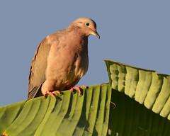 Eared Dove (Zenaida auriculata) (Frank Shufelt) Tags: southamerica nature birds colombia wildlife pigeons aves doves finca columbidae 7958 quindo eareddove zenaidaauriculata circasia elensueo lasiria