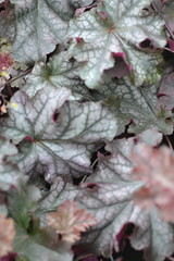 HEUCHERA 'Can-Can'
