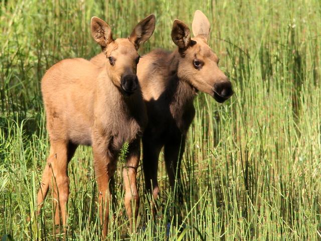 Moose twins 20110617