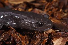 Hynobius hirosei (henk.wallays) Tags: aaaa amphibia bộcóđuôi chordata caudata henkwallays hynobidae hynobius hynobiushirosei kuyruklukurbağalar nature pyrstösammakot płazyogoniaste semenderler winkelzahnmolche amfibie amfibien amphibie amphibien anfíbios caudado caudados closeup farkoskétéltűek gewervelden lurche macro mlok molche natuur newt salamander salamandras salamanterieläimet schwanzlurche triton urodela urodele urodelos vertebrata vertebrate wildlife земноводні хвостаті саламандра 鯢