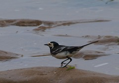 Willy Wagtail (WaterBugsPics) Tags: sea wild white black bird nature water beautiful small norfolk piedwagtail willywagtail phoddastica