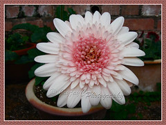 Gerbera jamesonii (Barberton/Transvaal/African Daisy) - a white variety