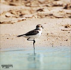 ::: Bird Al-Zour ::: (Mohammed Al-Khars) Tags: blue sea brown beach water birds sand feathers