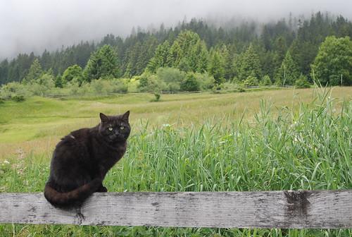Alpine Black Cat