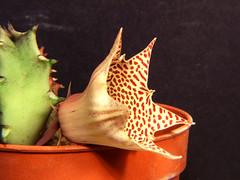 huernia hislopii (marcoxaero) Tags: camera flowers cactus plant flower macro nature digital photo succulent foto starfish great natura finepix fujifilm carrion fiori s5500 hoya stapelia kakteen orbea ceropegia huernia hoodia bellissimi asclepiad pseudolithos caralluma piaranthus apocynacee larryleachia rhytidocaulon echidnopsis trichocaulon brachystelma asclep raphionacme stapelianthus orbeanthus asclepiadacee huerniopsis ophionella