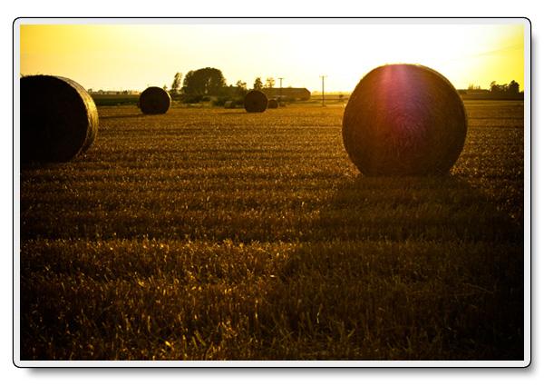 Gyllene sädesfält