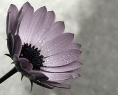 P1040092 (Lara's  Stuff) Tags: flower mygarden fleurtography floralappreciation semicolorless stradlingthelinebetweenblackandwhiteandcolor