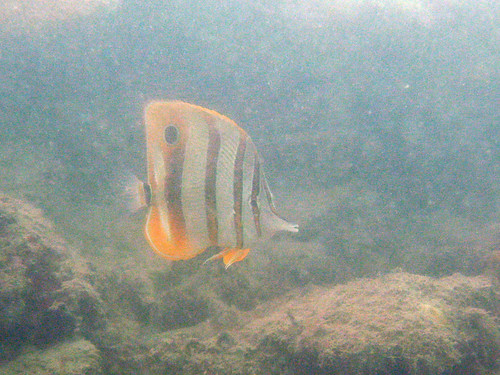 Copper-banded (Long-beaked) Butterflyfish