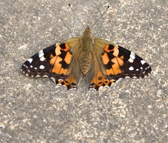 Painted Lady butterfly (phunkymunky) Tags: butterfly paintedlady