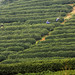 Green Tea Plantation, Pickers - China #2 of 7