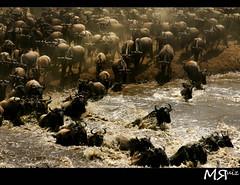 Live History (Marcio Ruiz) Tags: wild animals rio mammal crossing wildlife mara massai migration gnus wildebeest selvagem travessia marariver marcioruiz mruiz mrruiz
