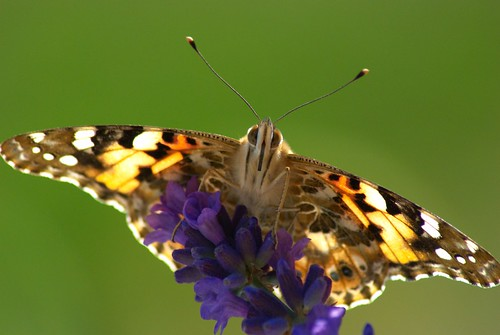 Butterfly on a lavender flower