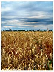 Life+ / Élet+ (FuNS0f7) Tags: life summer hungary cereal szolnok sonycybershotdscf828 cornintheear alcsisziget