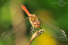 Libellula -- Dragonfly (domenicosavi photographer) Tags: new city newyorkcity trip travel family flowers b friends party summer vacation portrait england italy music food newyork man rome flower roma sexy art fall film sports nature water k fashion sport festival night t j nikon women friend europe italia foto photographer y florida o d g portait c w sportsillustrated n s x m h v f r e u l p z q lazio cinecitt savi rieti domenicosavi