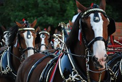 Clydsdales (rycordell) Tags: horse festival brewing pumpkin wagon illinois september company budweiser morton clydesdales anheuserbusch