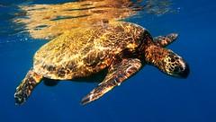 back to the sun (bluewavechris) Tags: ocean life blue sea brown sunlight green water animal hawaii marine turtle reptile shell maui creature flipper