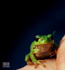Bb rainette (O-C) Tags: macro bokeh sony sigma flou grenouille verte 70300 rainette a300 batracien