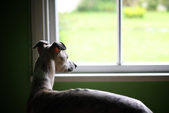 (clerestories) Tags: whippet marzipan pan