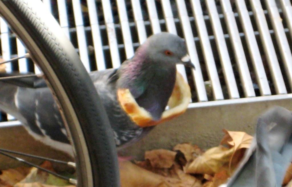 Trendy Pigeon (5)